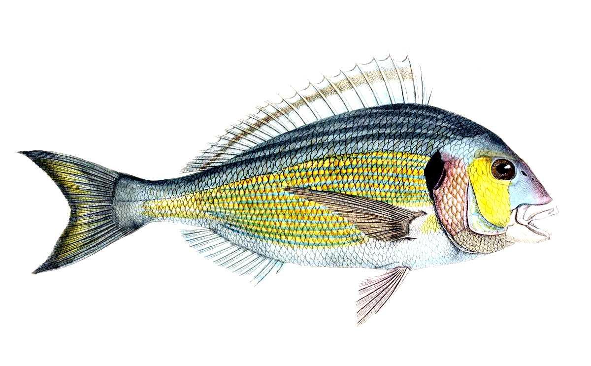 pesca dell'orata