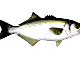 Pesce serra come pescarlo esche