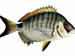 Pesca ai saraghi